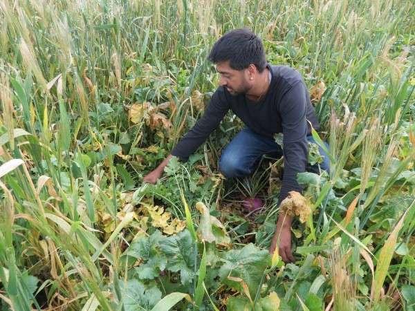 Los cultivos de cobertura de otoño para el pastoreo de ganado pueden mejorar la salud del suelo y proteger el medio ambiente.