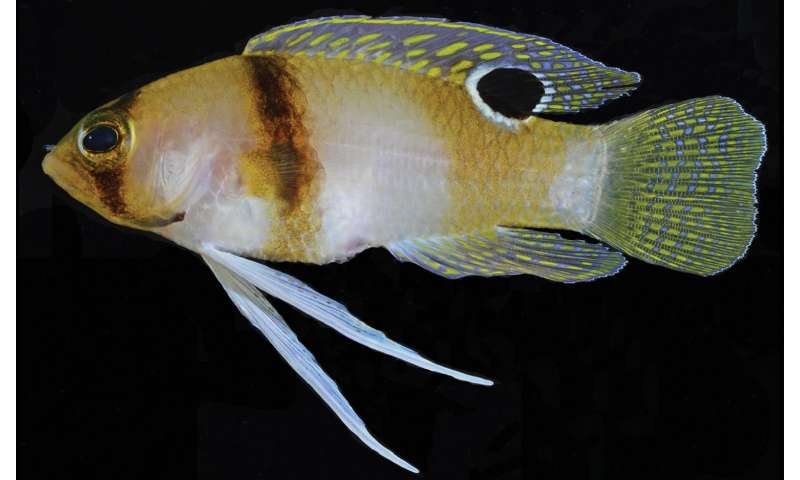 Fishy Caribbean 'juveniles' to be recognized as a new species, the Hourglass basslet