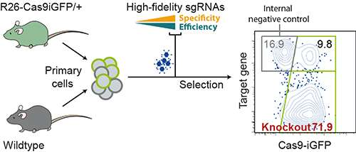 Genome editing: Efficient CRISPR experiments in mouse cells
