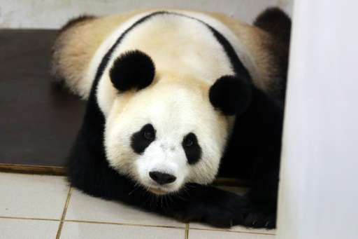 Giant panda Hao Hao is photographed on June 2, 2016 after giving birth at the Paira Daiza zoo in Belgium