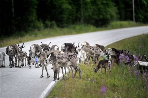 Glowing antlers failed, so Finns try app to save reindeer