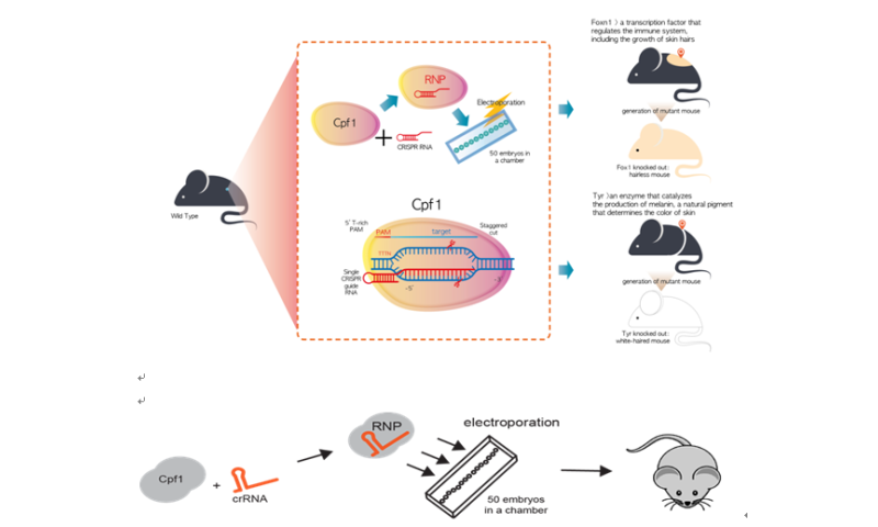 In CRISPR genome editing, Cpf1, proved its marked specificity and produced a mutant mouse