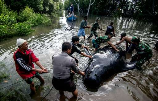 Indonesian environmental activists, military and police personnel and villagers try to help a group of short-finned pilot whales