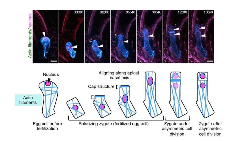 Live cell imaging of asymmetric cell division in fertilized plant cells