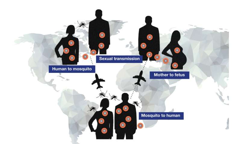 LJI researchers strengthen the case for sexual transmission of Zika virus