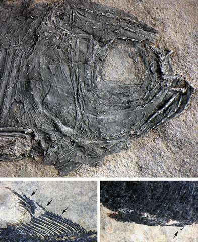 Neopterygian fish with secondary sexual characteristics found from the Middle Triassic of China