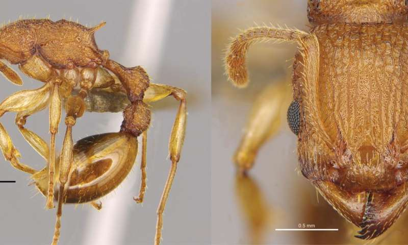 New ant species Paratopula bauhinia described from Hong Kong by HKU biologists