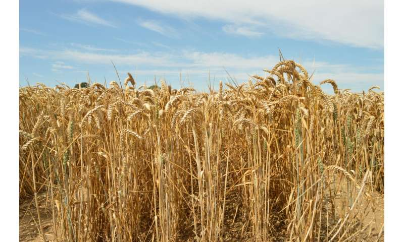 New gene-detecting technology brings new, resilient superwheat closer