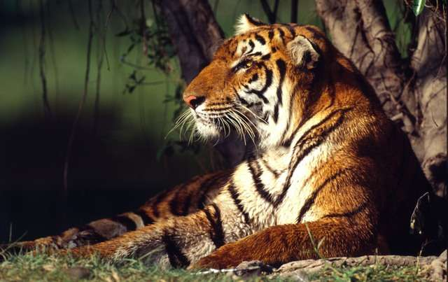 New report finds no slowdown in tiger trafficking
