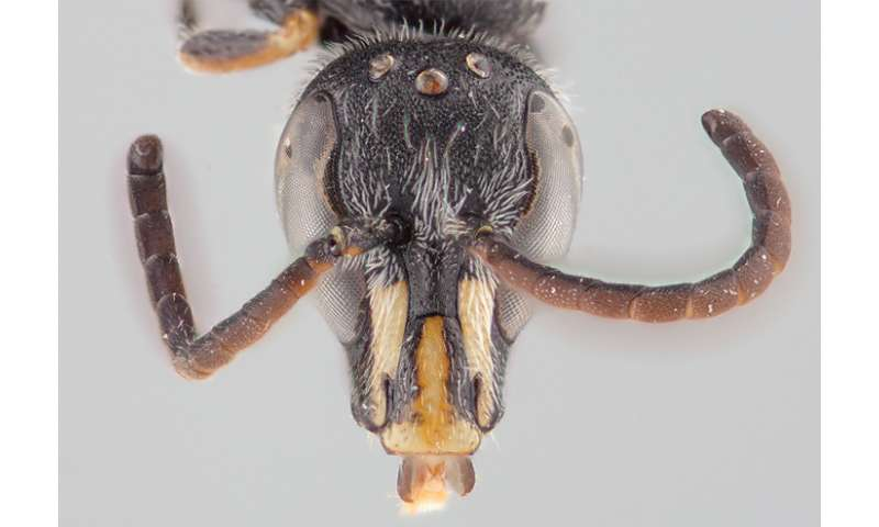 One of 8 new endemic polyester bees from Chile bears the name of a draconic Pokemon
