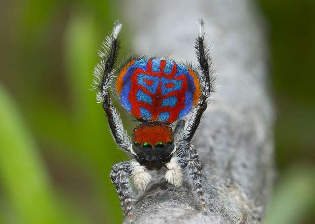 Perseverance pays off with peacock spiders