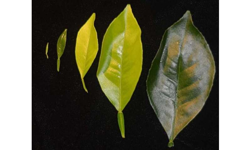 Plant breeders, growers should pay attention to flush in fight against citrus greening disease