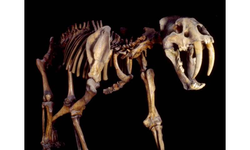 Saber-toothed cats hunted on the South American plains