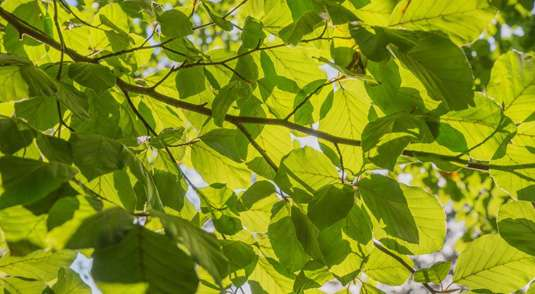 Study finds leaf emergence regulated by spring temperature and the cumulative exposure to cold days