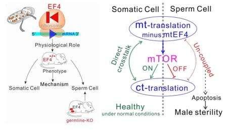 Study unveils novel crosstalk mechanism between mitochondrial translation and cytoplasmic translation