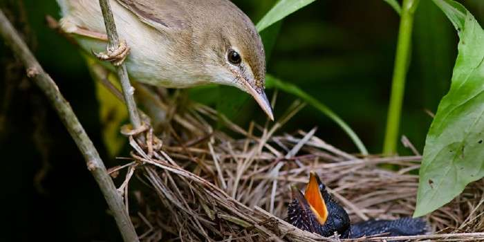 Why some cuckoos lay blue eggs