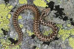 Why we should bother saving Britain's only venomoussnake