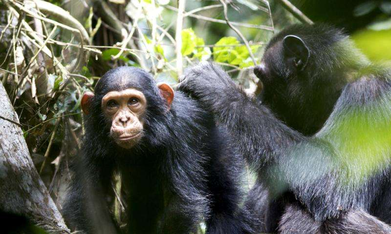 Wild chimpanzee mothers teach young to use tools