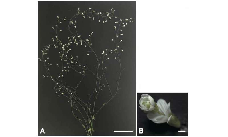 Development of a rapid method to knockout genes in Arabidopsis thaliana