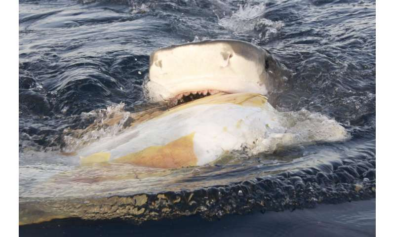 Study suggests tiger sharks opt for scavenging on dead and dying sea turtles as a feeding strategy