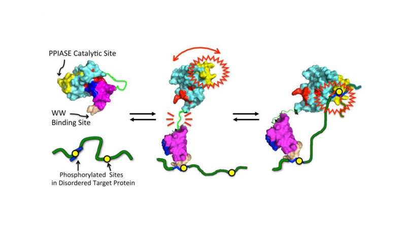 Study reveals insights into protein linked to cancer and Alzheimer's disease