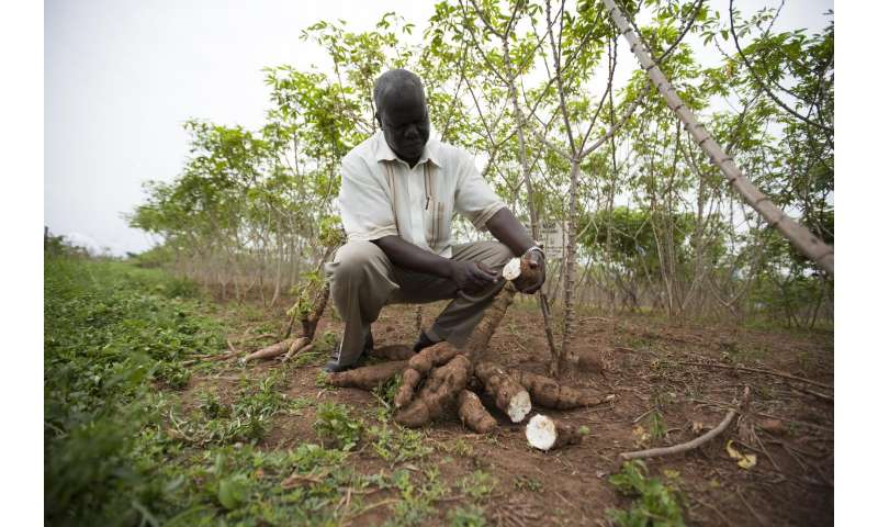 International alliance receives grant to improve cassava harvest and nutrition for farmers in Africa