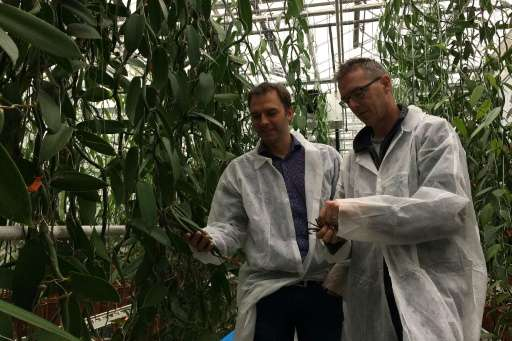 University of Wageningen researcher Filip van Noort and vanilla grower Joris Elstgeest inspect vanilla orchids, part of four yea