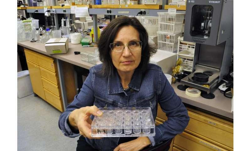 Understanding how the 'blood-brain barrier' is breached in bacterial meningitis