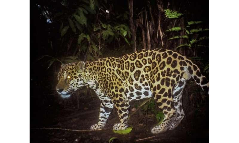 26 jaguars killed in Panama so far this year