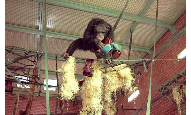 Chimpanzee enclosure redesign translates wild chimpanzee research to zoo settings