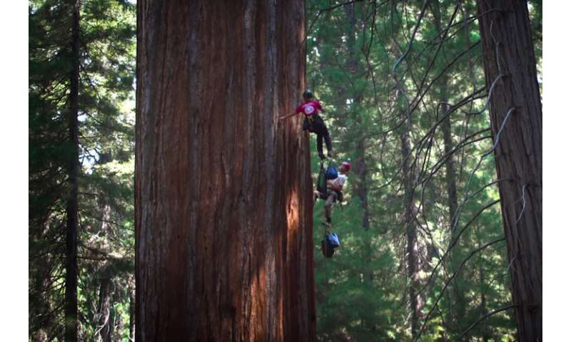 Drones help monitor health of giant sequoias