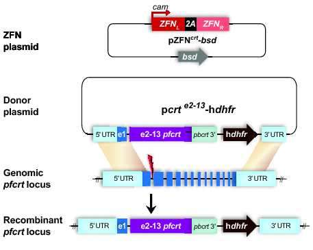 Drug resistance mutations also enhance growth in malaria parasite