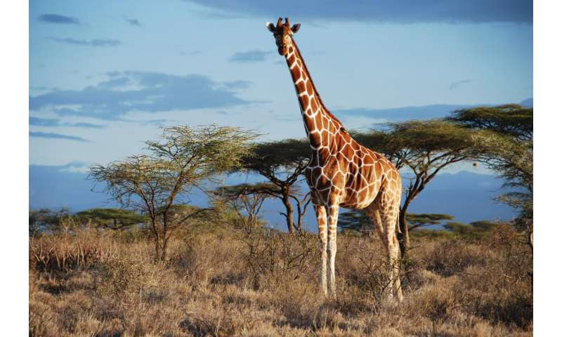 Genetic analysis uncovers 4 species of giraffe, not just 1