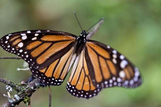 North America's endangered migratory Monarch butterfly's population rebounded in the winter season of 2015-2016, but it is still