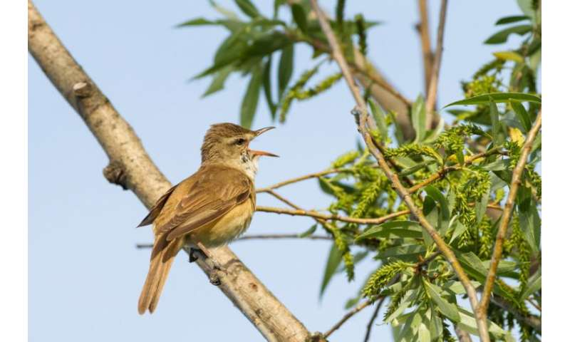 Opinion: There's a reason why Africa's migratory songbirds sing out of season