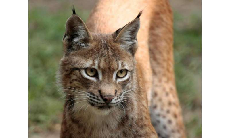 Reintroduction of lynx requires larger numbers to avoid genetic depletion