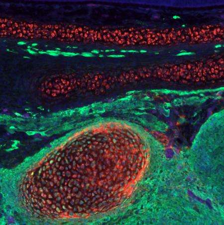 Scientists transform lower-body cells into facial cartilage
