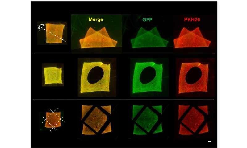 Breakthrough for bone regeneration via double-cell-layered tissue engineering technique