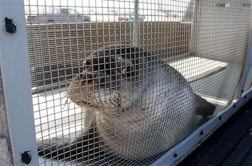 APNewsBreak: Endangered seals start journey home after rehab