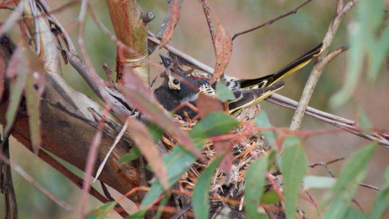 Critically endangered honeyeater population discovered