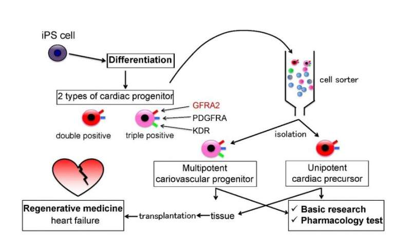 Discovery of molecular marker specific to early embryonic heart development