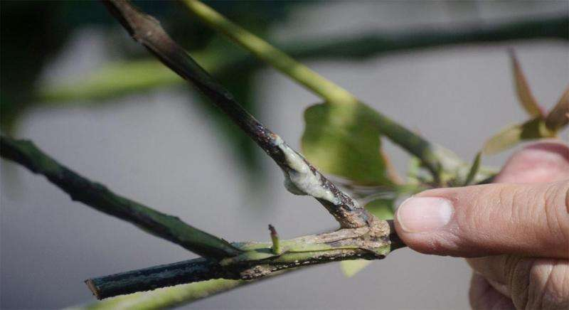 Mexican scientists design a new system to control the mistletoe