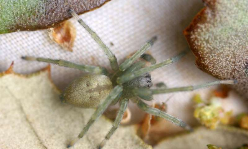 New species of spider discovered 'next door' at the the borders of cereal fields in Spain