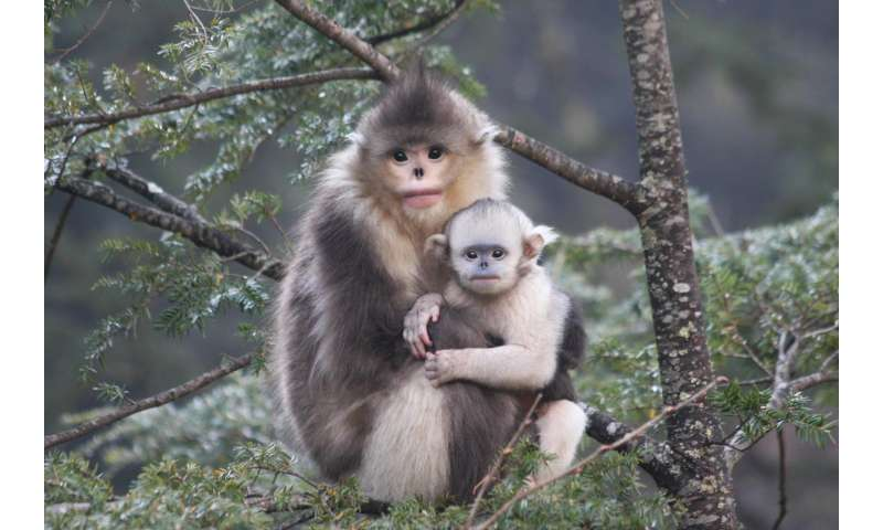 New study reveals adaptations for snub-nosed monkeys