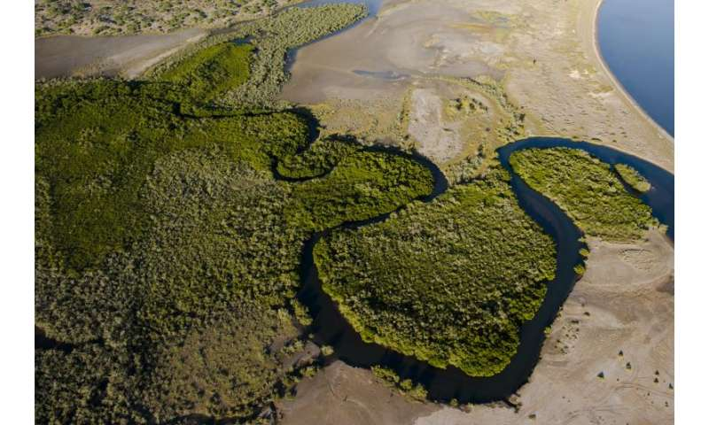 New study shows desert mangroves are major source of carbon storage