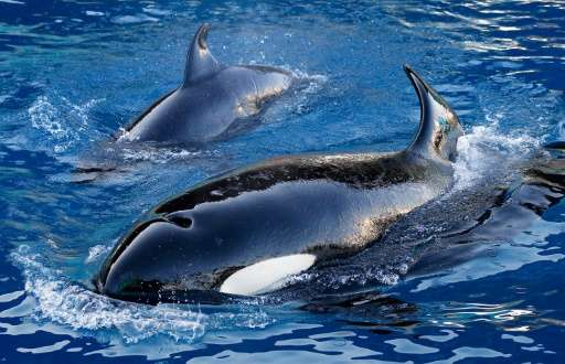 Scientists are studying why females from a handful of species—including killer whales—continue to live well beyond the age when