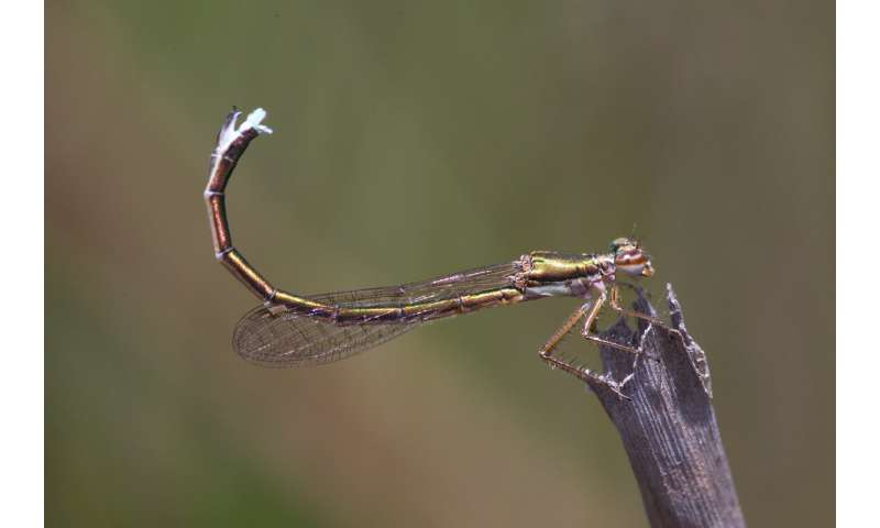 The mysterious sexual life of the most primitive dragonfly
