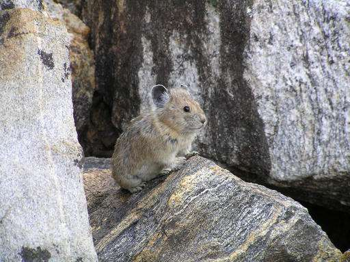 Climate change taking toll on American pika's Western lands