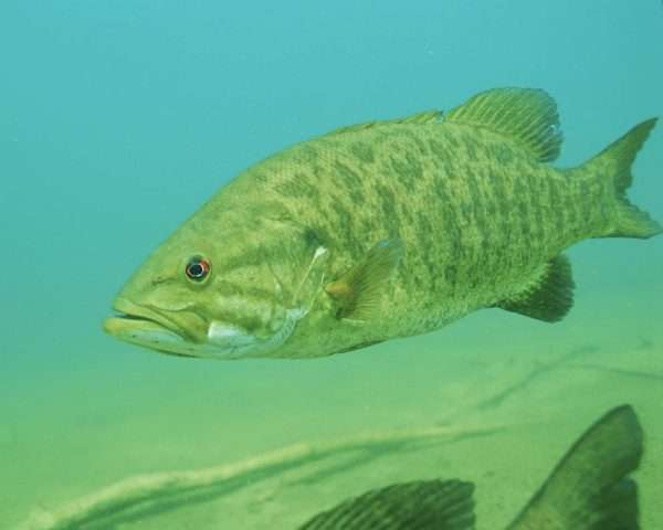 Climate change, species invasions harming popular native fish in Ontario lakes