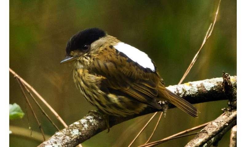 Researchers document how broadbills make loud wing song